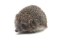 Hedgehog close-up  on white background Royalty Free Stock Photos