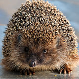 Hedgehog closeup Royalty Free Stock Photo