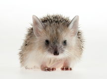 Hedgehog closeup. Forest animals. Funny picture. An excellent illustration stock images