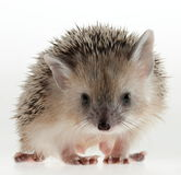 Hedgehog closeup. Forest animals. Funny picture. An excellent illustration royalty free stock photography