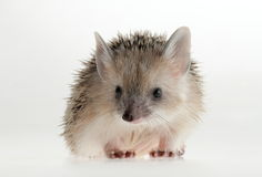 Hedgehog closeup. Forest animals. Funny picture. An excellent illustration stock photos
