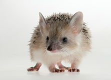 Hedgehog closeup. Forest animals. Funny picture. An excellent illustration stock image