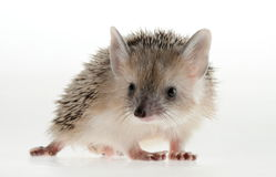 Hedgehog closeup. Forest animals. Funny picture. An excellent illustration royalty free stock images