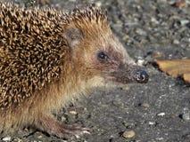 Hedgehog closeup Stock Photos