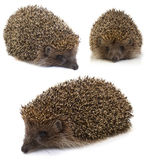 Hedgehog. collage Royalty Free Stock Photography