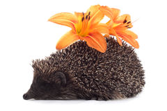 Hedgehog com flor Foto de Stock Royalty Free