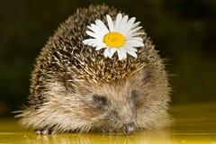 Hedgehog com flor Imagens de Stock Royalty Free