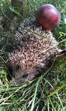 Hedgehog com maçã Fotos de Stock Royalty Free