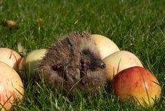 Hedgehog com maçãs Imagens de Stock