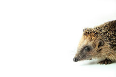 The hedgehog comes into the picture Royalty Free Stock Photography