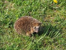 Adult Hedgehog  with muzzle and tooth close-up. Hedgehog is the common name for any of the small spiny, mammals comprising the subfamily Erinaceinae of the stock photo