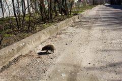 Hedgehog cross the road Stock Photography
