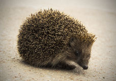 Hedgehog crossing the road Stock Images