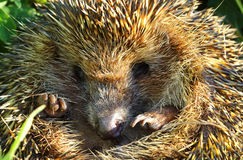 Hedgehog curled closeup Royalty Free Stock Images