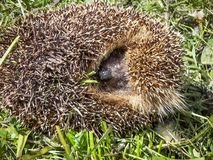 Hedgehog curled Stock Photos