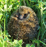 Hedgehog curled in the grass Royalty Free Stock Photo