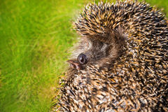 Hedgehog curled on the green grass. Royalty Free Stock Photo
