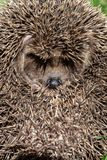 hedgehog, curled into a protective ball. the shadow of the thorn Stock Photos