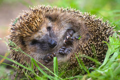 Hedgehog curled  and sleeps ant awakes him Royalty Free Stock Photo