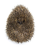 Hedgehog curled up Stock Photos