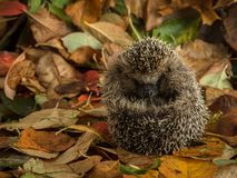 Hedgehog curled up in autumn leaves Royalty Free Stock Images