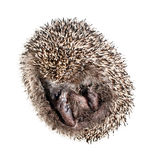 Hedgehog curled up into a ball Stock Image