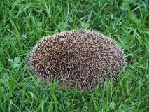 Hedgehog curled up in a ball on the grass close-up. Hedgehog is the common name for any of the small spiny, mammals comprising the subfamily Erinaceinae of the royalty free stock photos