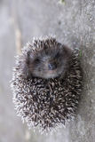 Hedgehog curled up into ball Royalty Free Stock Image