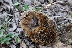 The hedgehog curled up on fallen Royalty Free Stock Images