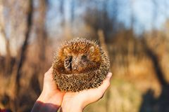 Hedgehog curled up in the hands of a girl stock photos
