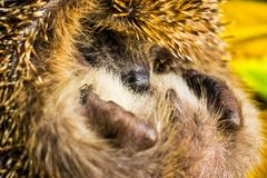 The hedgehog curled up and hid his nose. Stock Photo