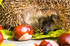 The hedgehog curled up and slept. Royalty Free Stock Image