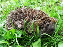 Hedgehog.  The hedgehog curled up and shows his needles. royalty free stock photo