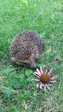 Hedgehog. Cute hedgehog with echinacea Stock Image