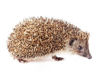 Hedgehog. Cute little hedgehog on a white background Royalty Free Stock Image