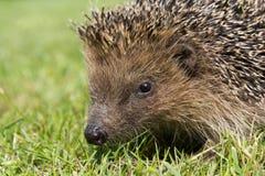 Hedgehog. A cute hedgehog looking for food in my garden Stock Image