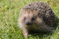 Hedgehog. A cute hedgehog looking for food in my garden Royalty Free Stock Photos