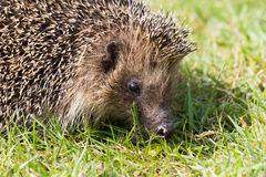 Hedgehog. A cute hedgehog looking for food in my garden Royalty Free Stock Images