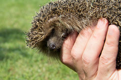 Hedgehog. A cute hedgehog looking for food in my garden Royalty Free Stock Photography