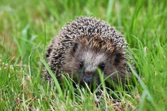 Hedgehog. Cute hedgehog in a meadow Stock Photo