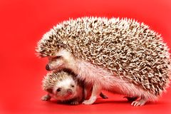 Hedgehog da matriz e do bebê Fotografia de Stock Royalty Free