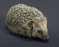 Hedgehog in dark back Stock Photography