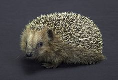 Hedgehog in dark back Royalty Free Stock Photography