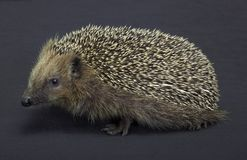 Hedgehog in dark back Royalty Free Stock Image