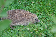 Hedgehog Daylight Active in Green Grass. Royalty Free Stock Images