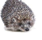 Hedgehog de Brown em um fundo branco Foto de Stock