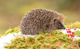 Native European Hedgehog in Winter with Red Berries, Snow and green moss. Hedgehog in December with snow on the ground, red berries and green moss.  Due to Royalty Free Stock Photography
