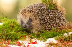 Native European Hedgehog in Winter with Red Berries, Snow and green moss. Hedgehog in December with snow on the ground, red berries and green moss.  Due to Royalty Free Stock Image