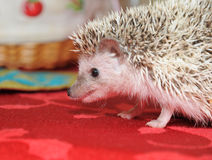 Hedgehog in defense Royalty Free Stock Image