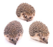 Hedgehog in different poses isolated. Hedgehog isolated on white background Stock Photos